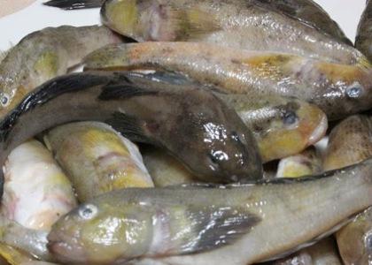 Рыба бычок