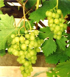 Соус из зеленого винограда